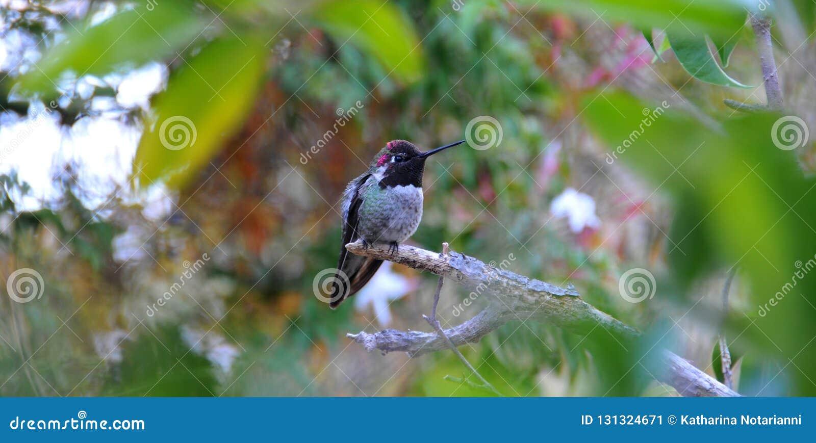 Kolorowy samiec Anna Hummingbird Przyciąga Swój szturmanu