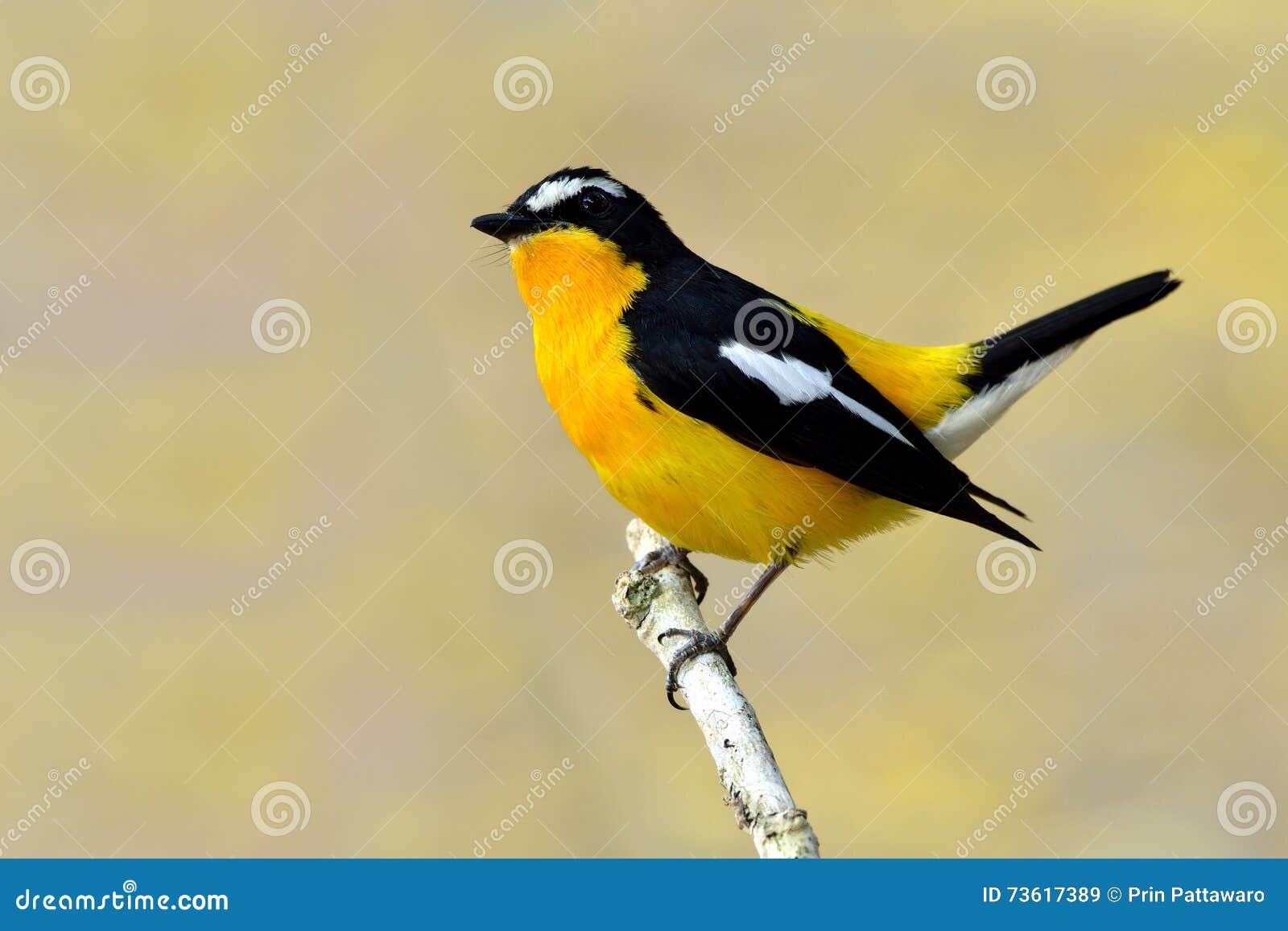 Koloru żółtego flycatcher & x28; Ficedula zanthopygia& x29; piękny ye
