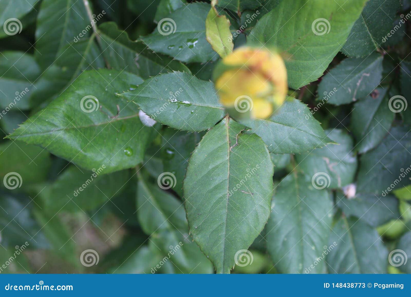 Koloru żółtego pączka zieleni liść