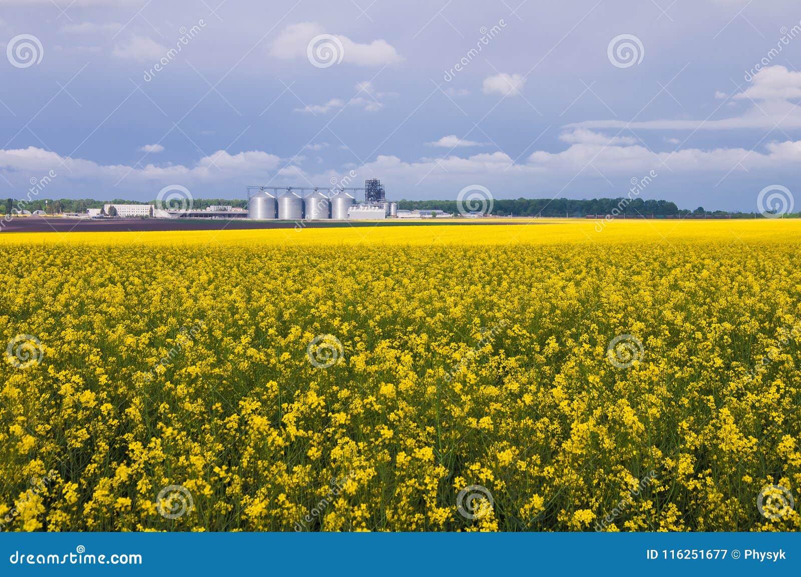Koloru żółtego pole kwitnący canola i liczba świrony na