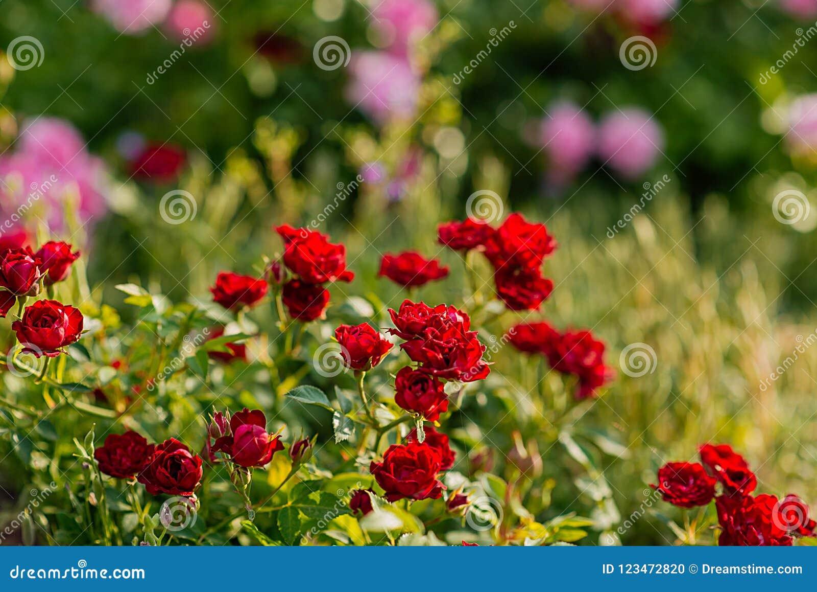 Kolory lato, róże w ogródzie