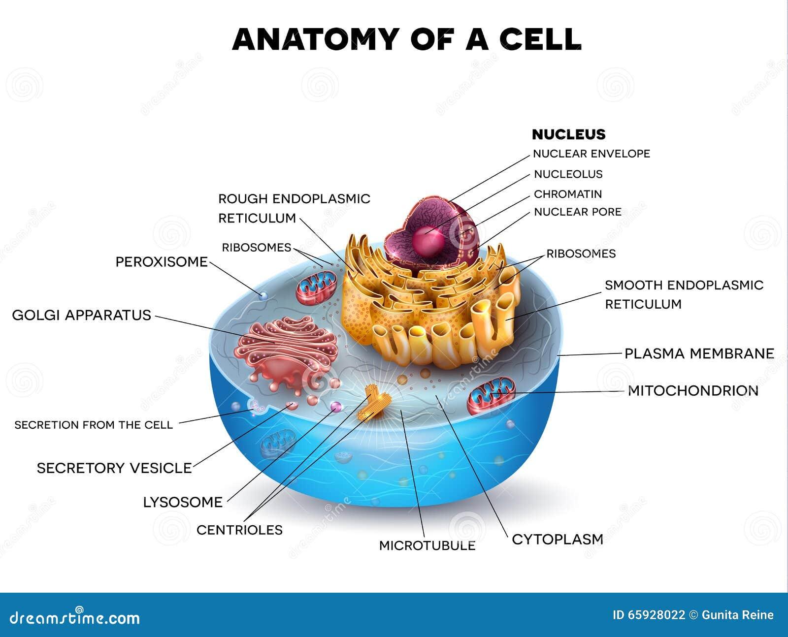 Komórki struktura