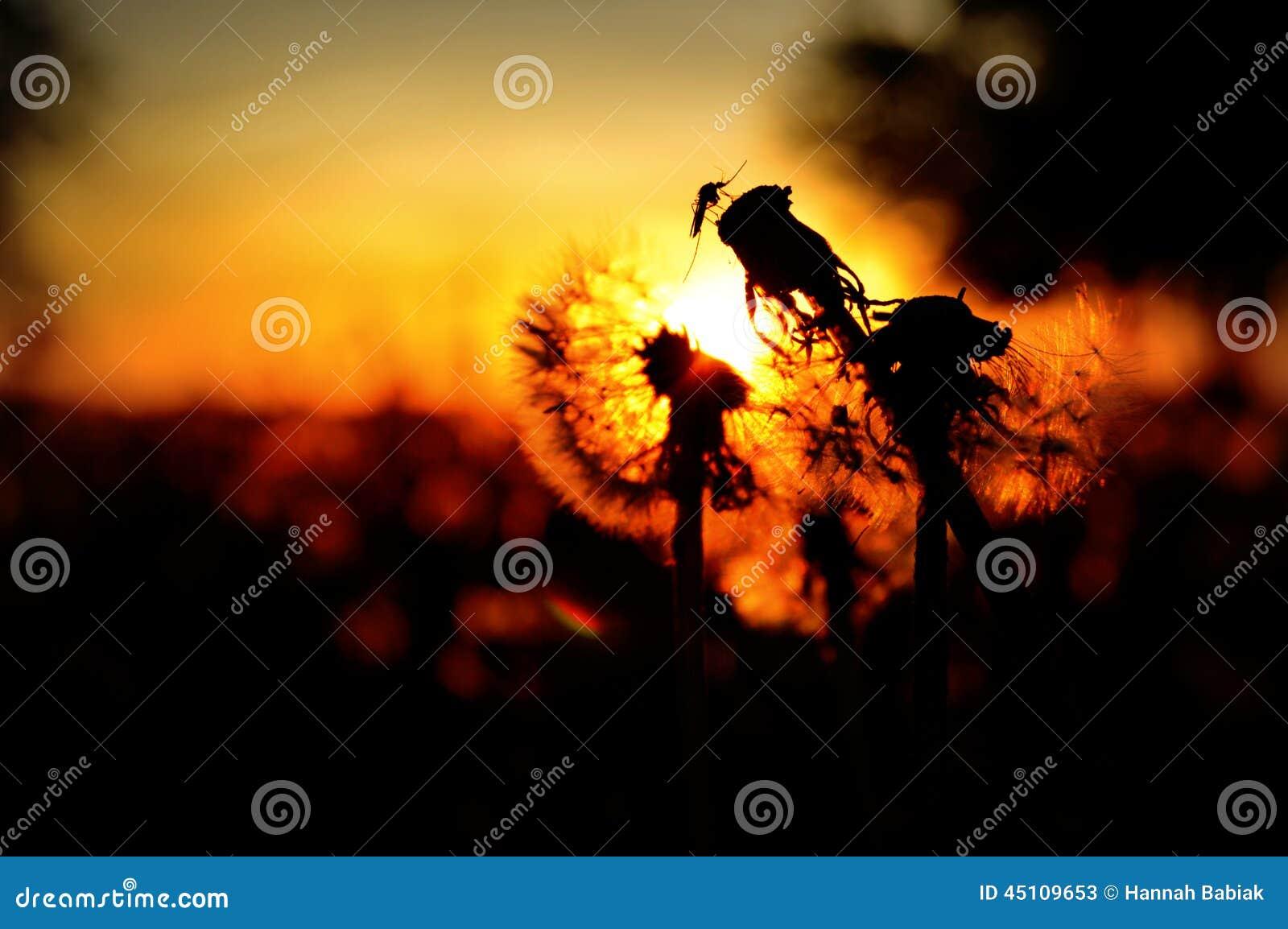 Komar na Dandelion ziarnie Przewodzi sylwetkę