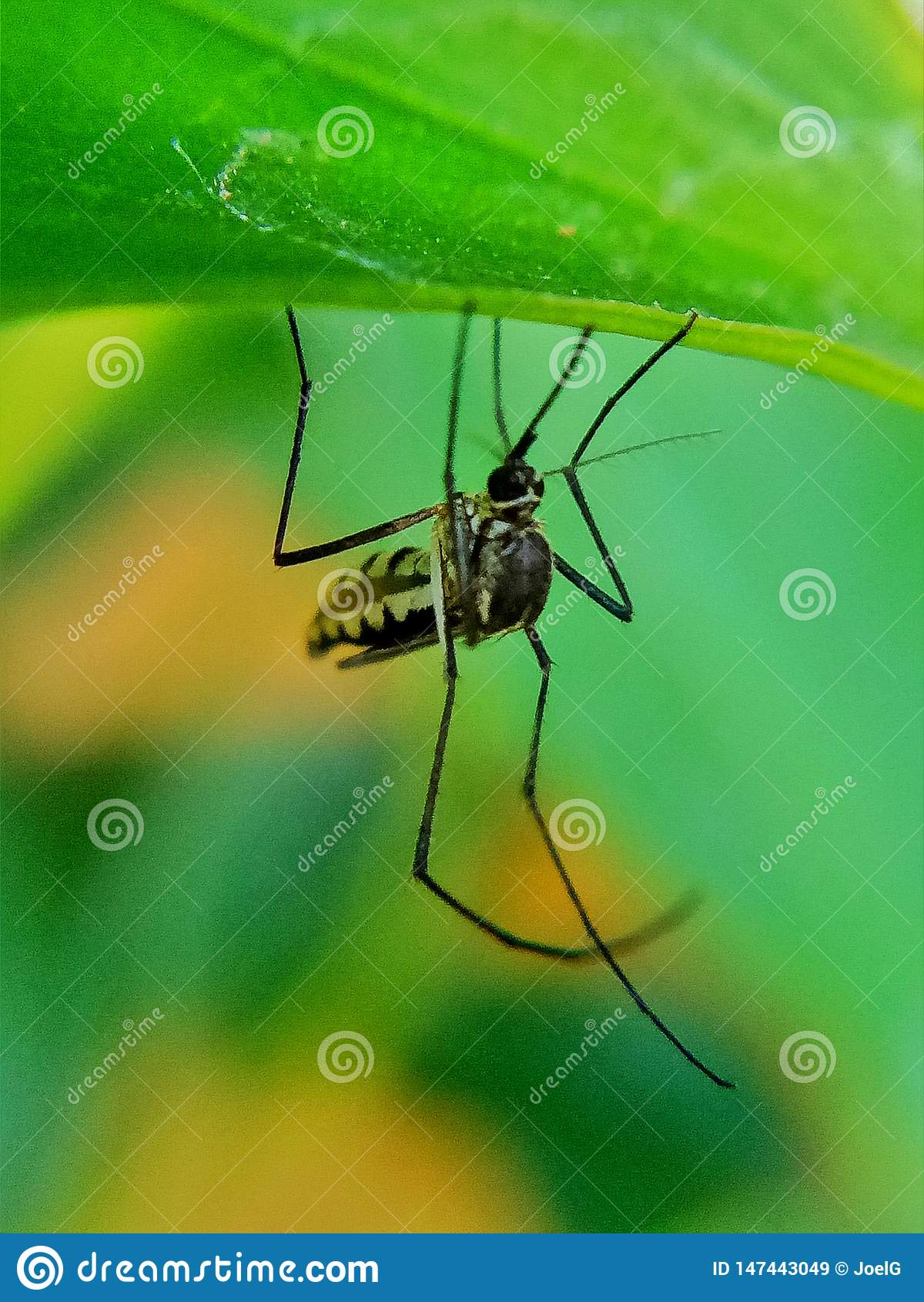 Komar osłania na liściu