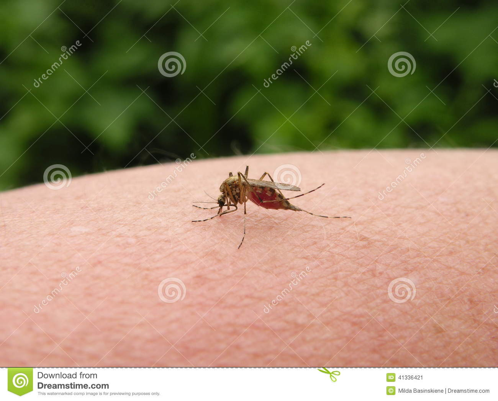 Komara insekt