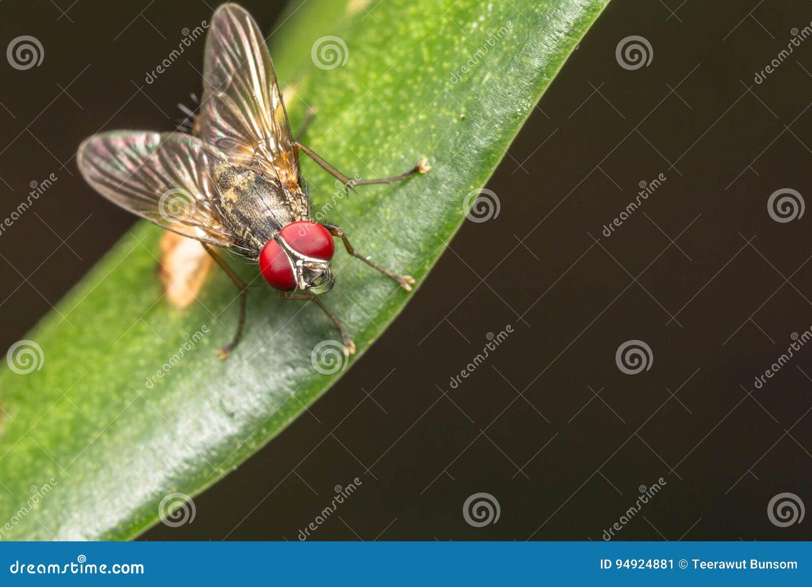 Komarnica insekt