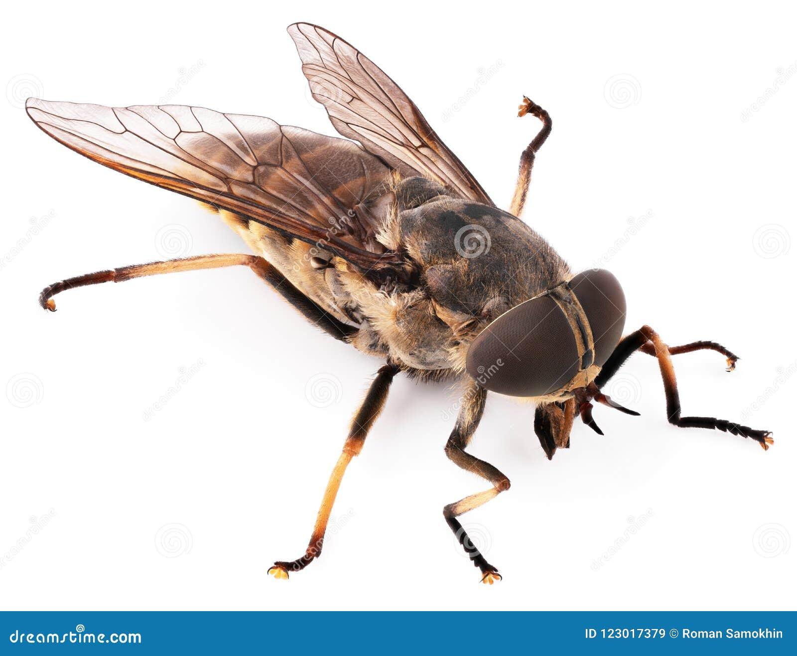 Komarnica insekt odizolowywający na białym tle