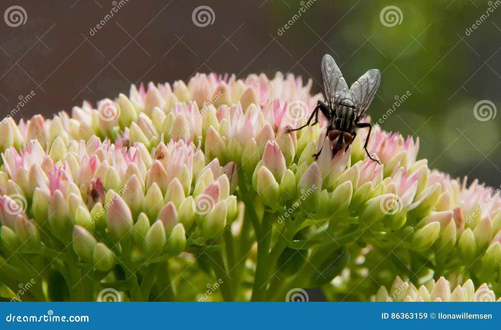 Komarnica na Sedum kwiatu zakończeniu