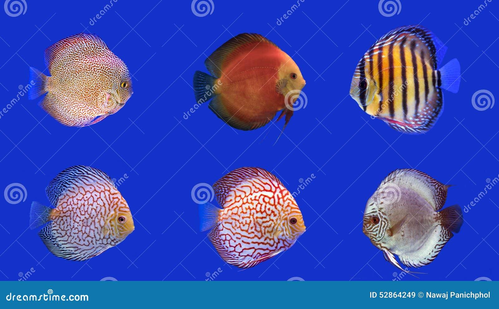Kombinierte diskus fische sechs arten diskus fischen for Fische arten