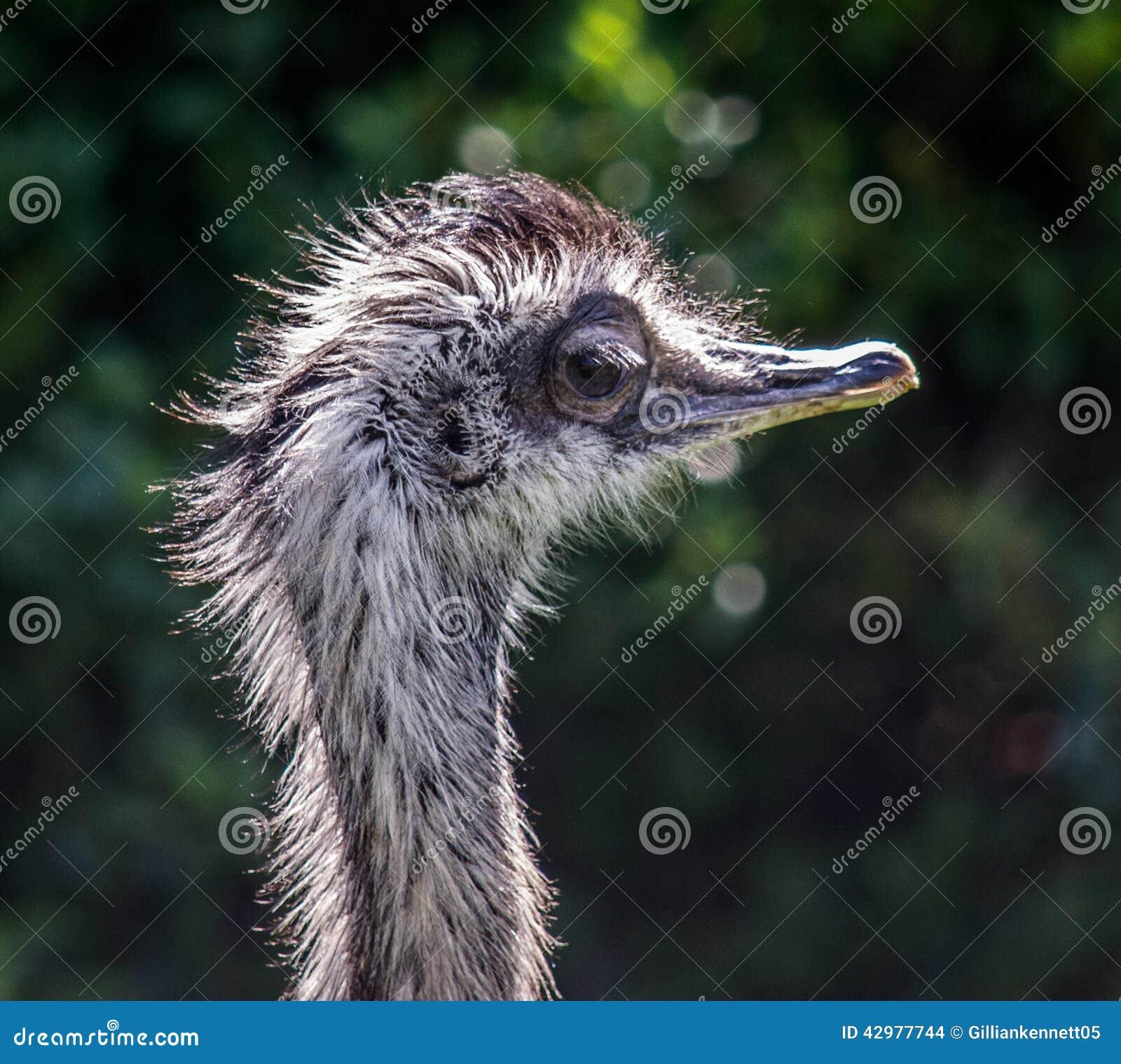 Komiczka, śmieszny ptak