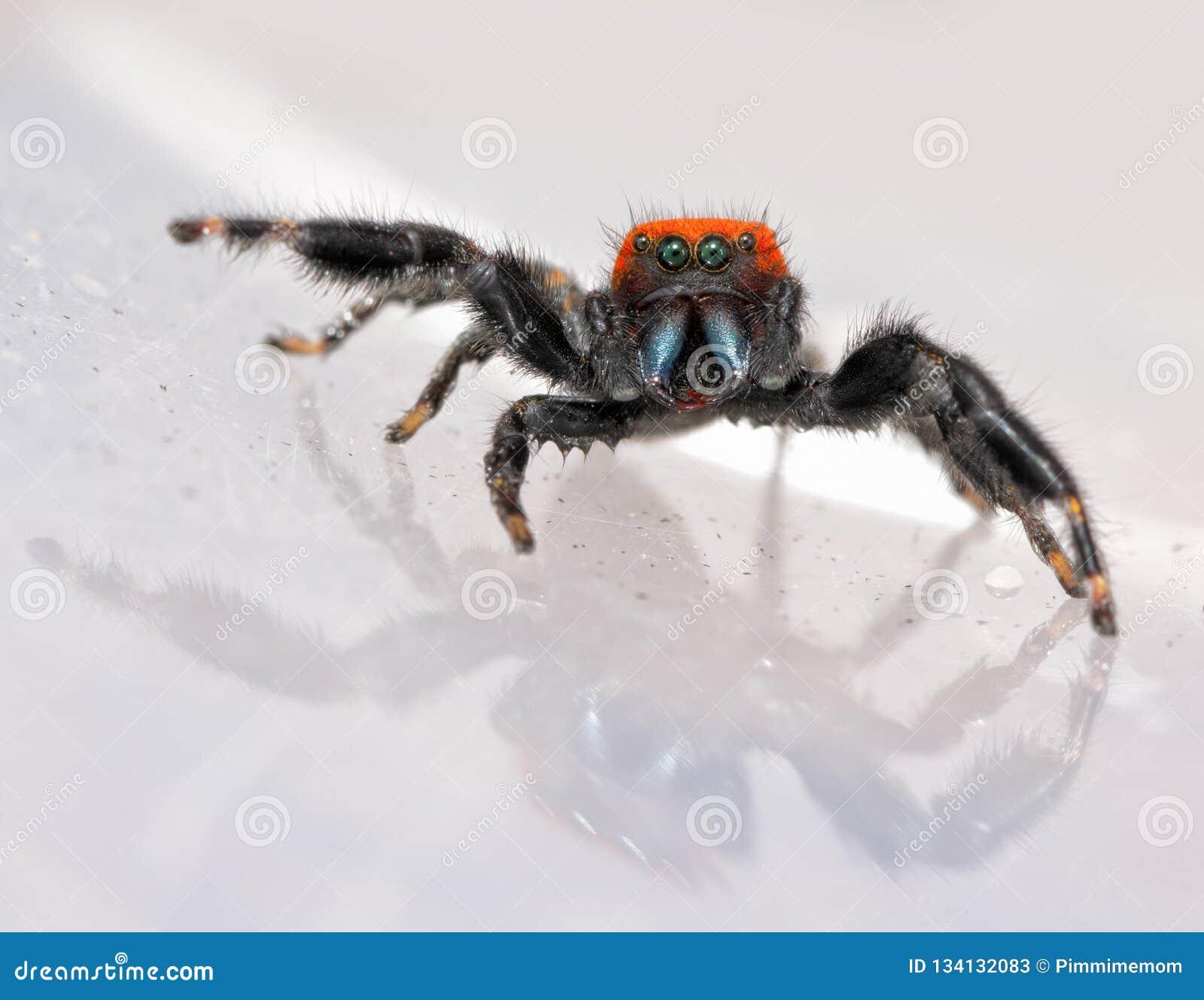 Komiczny wizerunek super śliczny, czerwony i czarny Phidippus apacheanus,