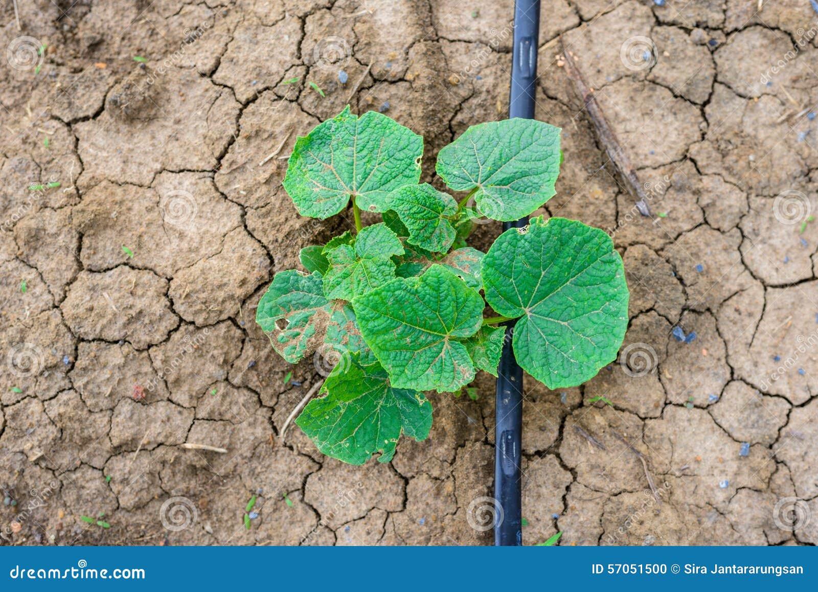 Komkommergebied het groeien met druppelbevloeiingssysteem