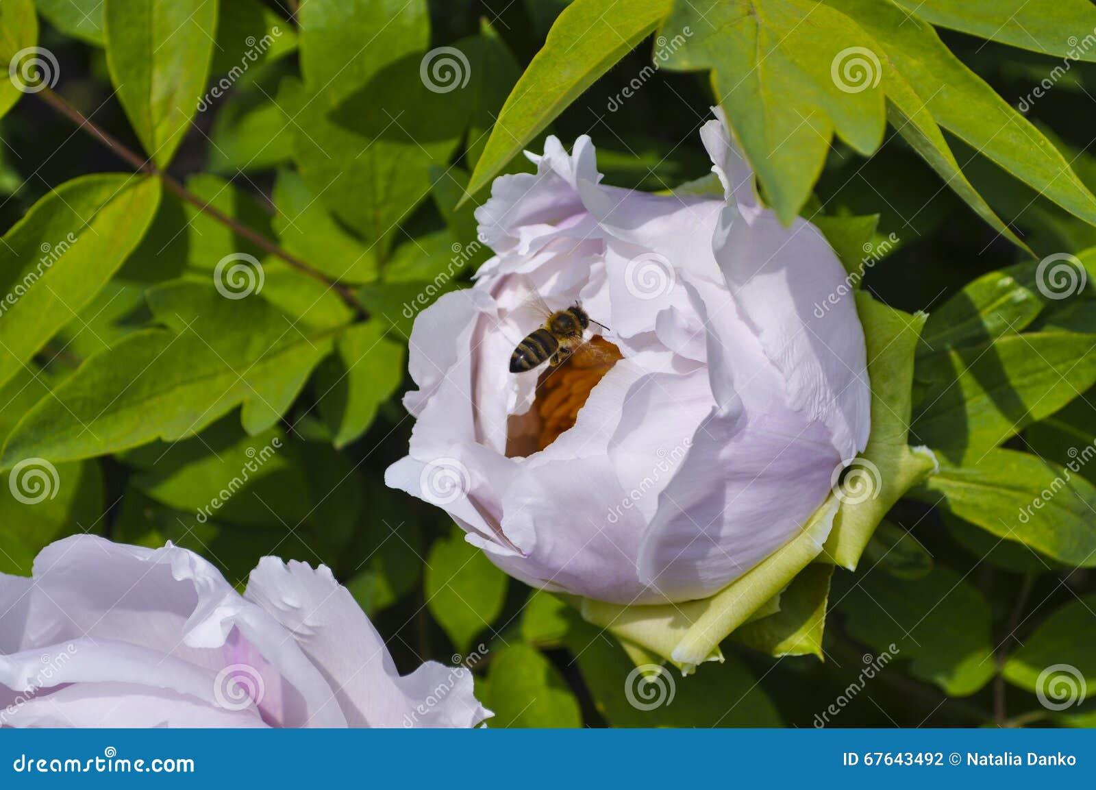 Kommen eine kleine Biene auf der Blumenpfingstrose an
