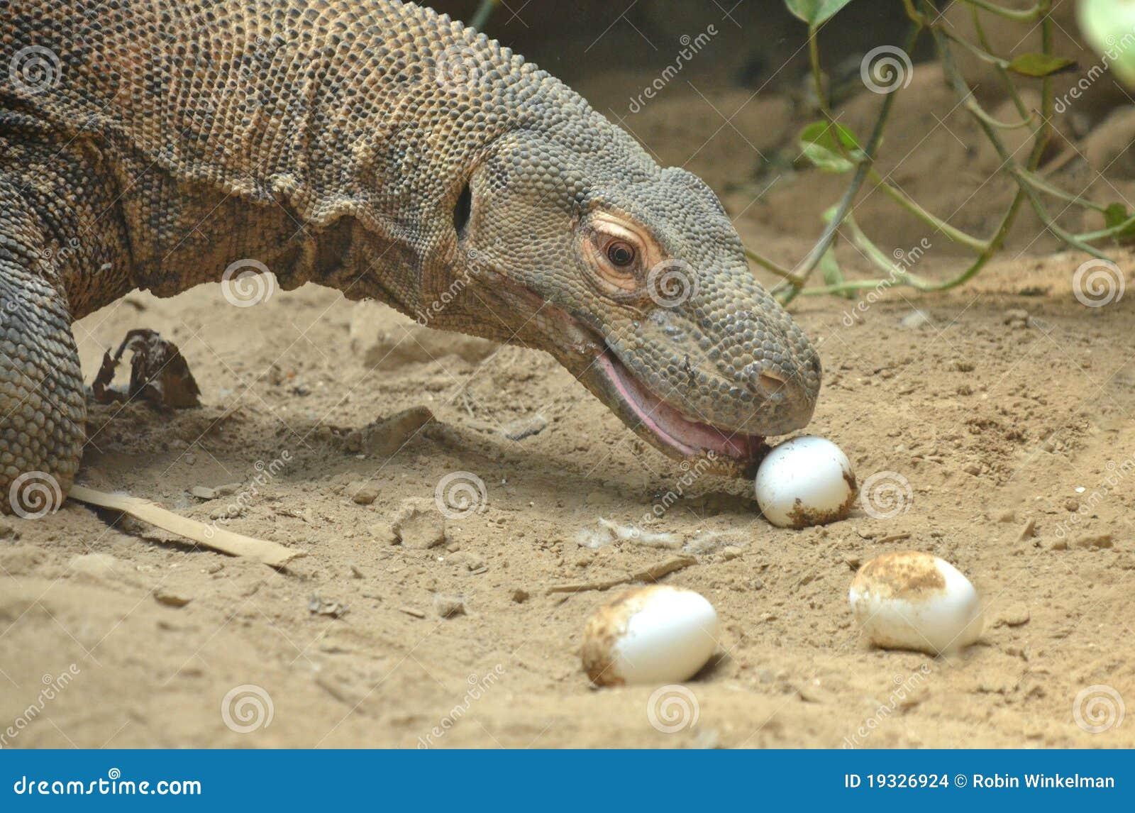 Komodo Dragon  ZooBorns