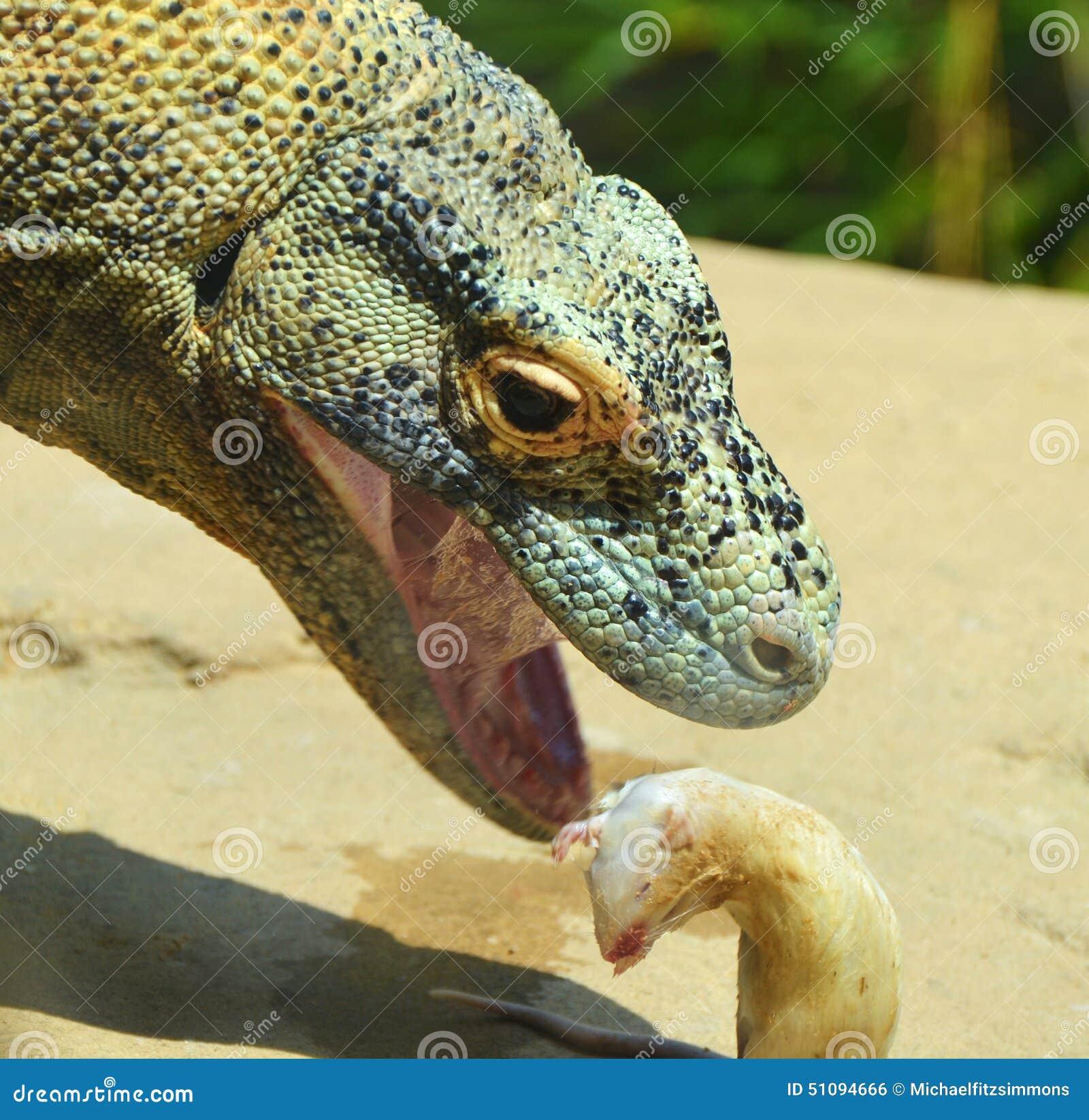 komodo dragon eating stock photo image of scales asia 51094666