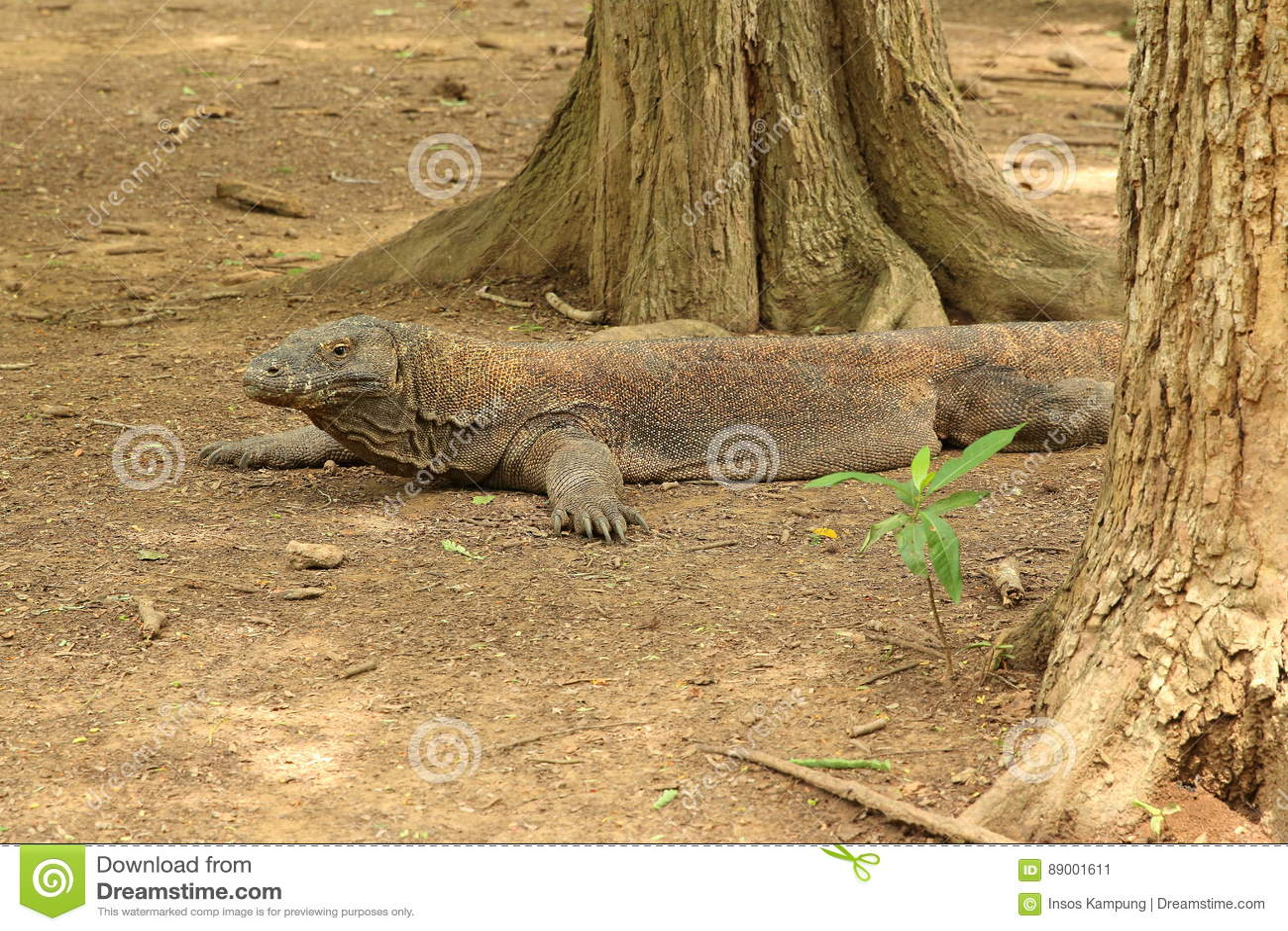Komodo Dragon, Komodo Island