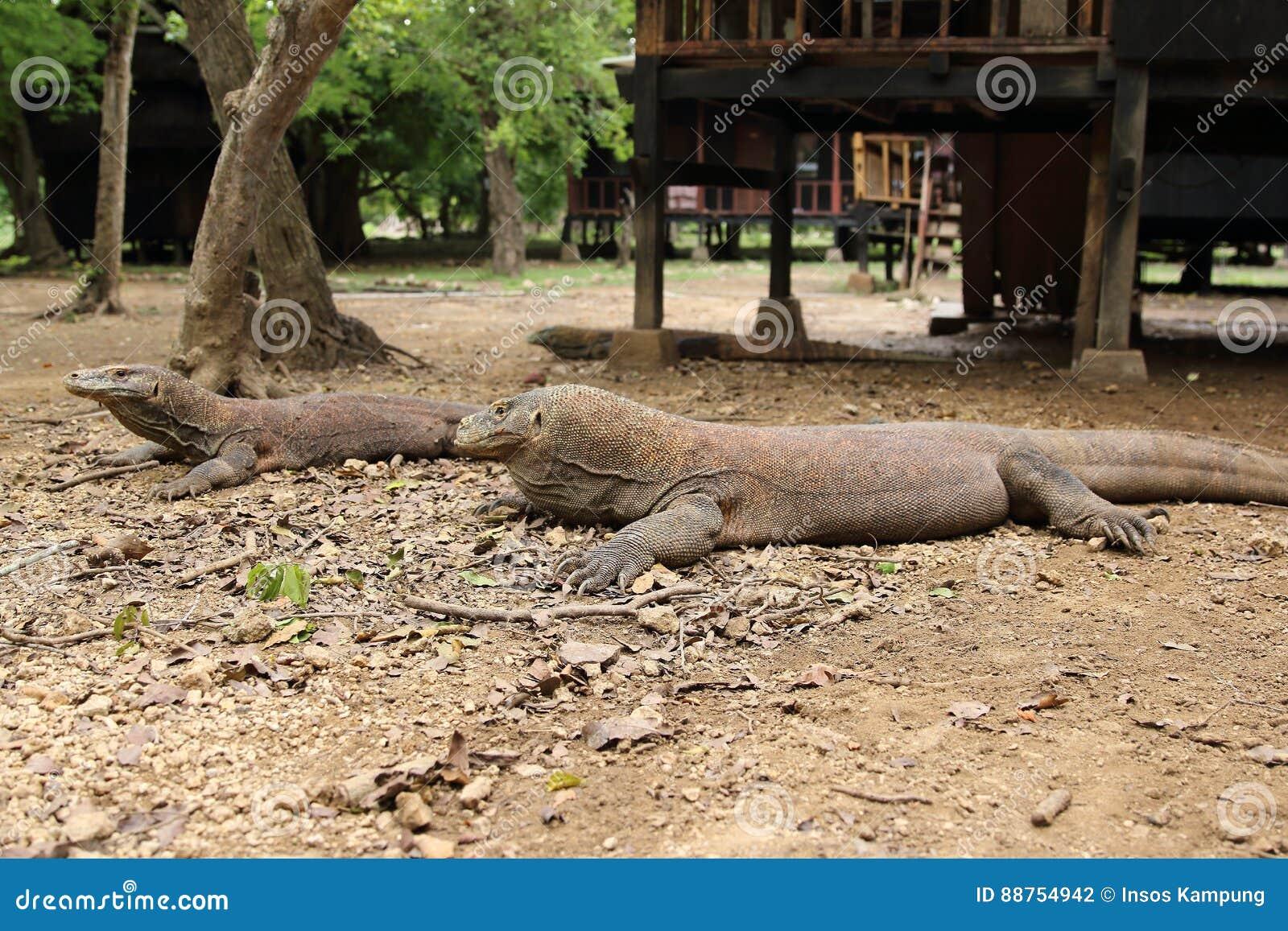 Komodo Dragon, Loh Buaya Rinca Island