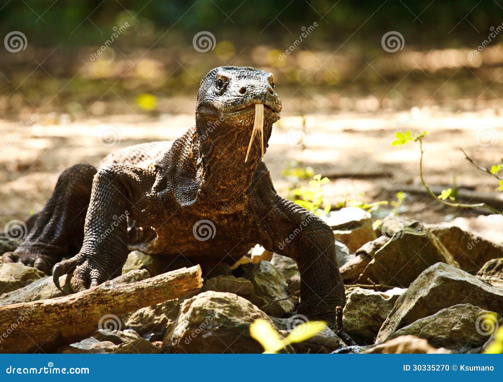 Download Komodo Dragon stock photo. Image of wildlife, komodoensis - 30335270