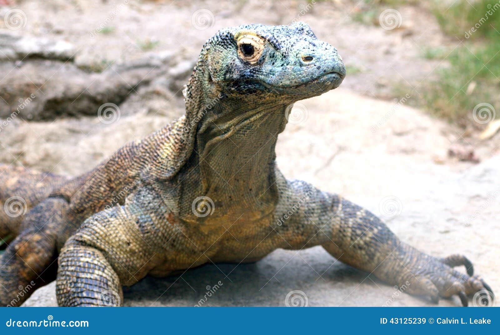 Komodo Dragon Stare Down