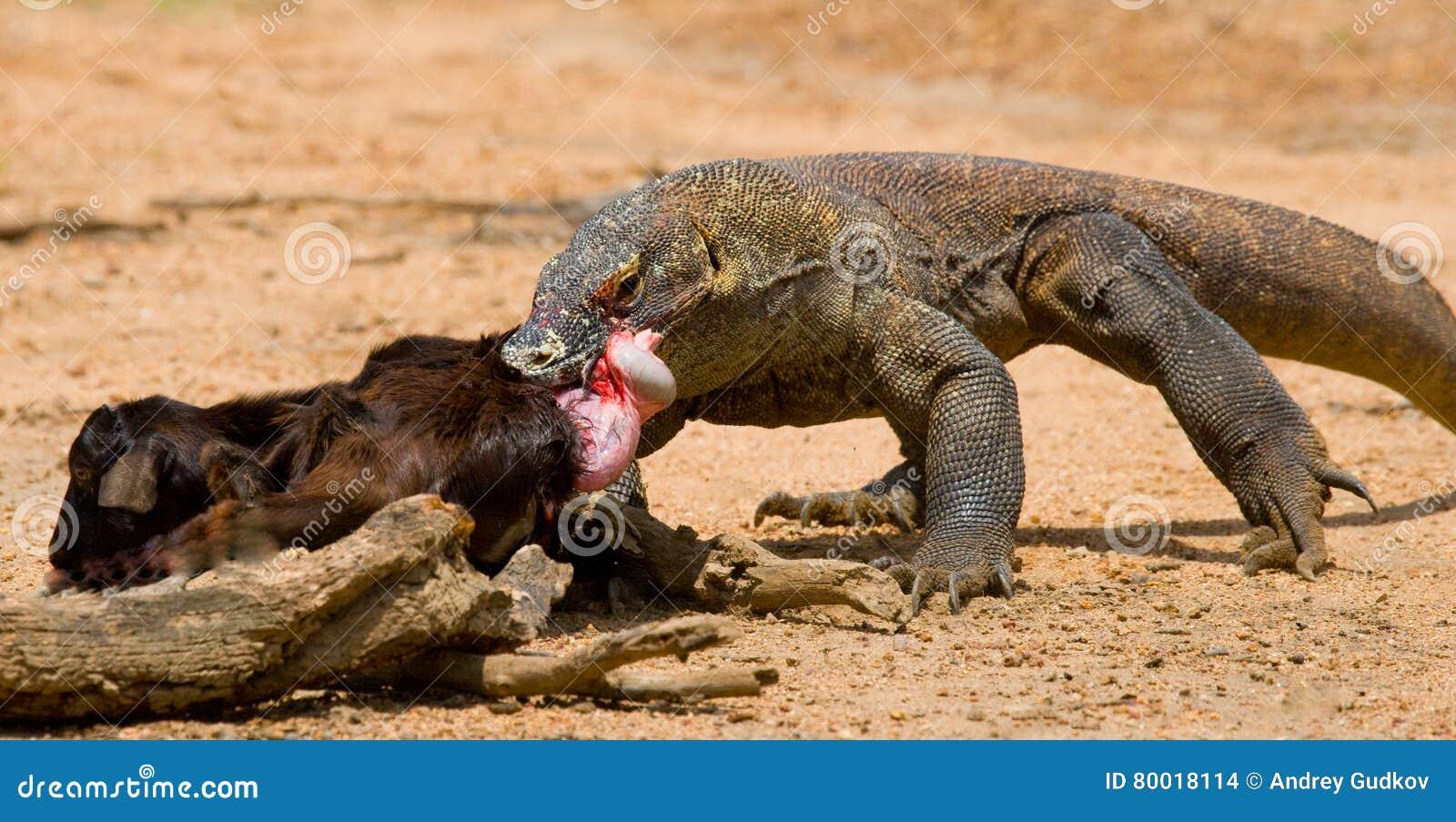 komodo dragons eat their prey indonesia komodo national park