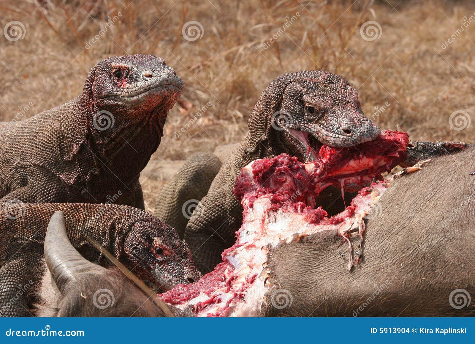 komodo dragons eating wild buffalo stock photo image of giant