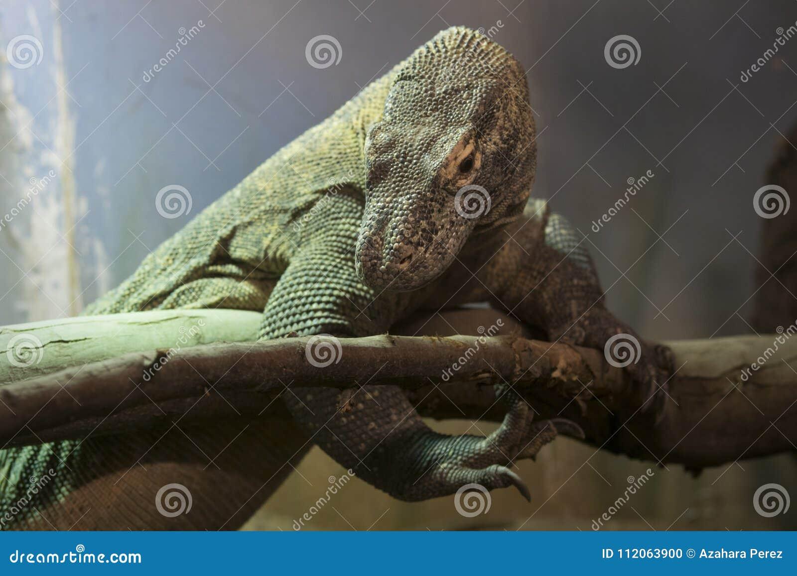 Komodo drake, den största ödlan i världen