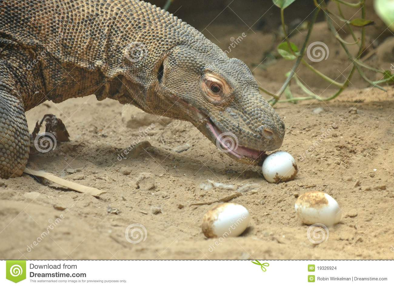 Komodo Eats Eggs Stock Images - Image: 19326924