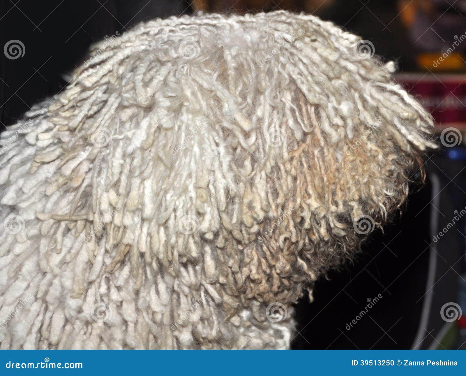 Komondor dog profile