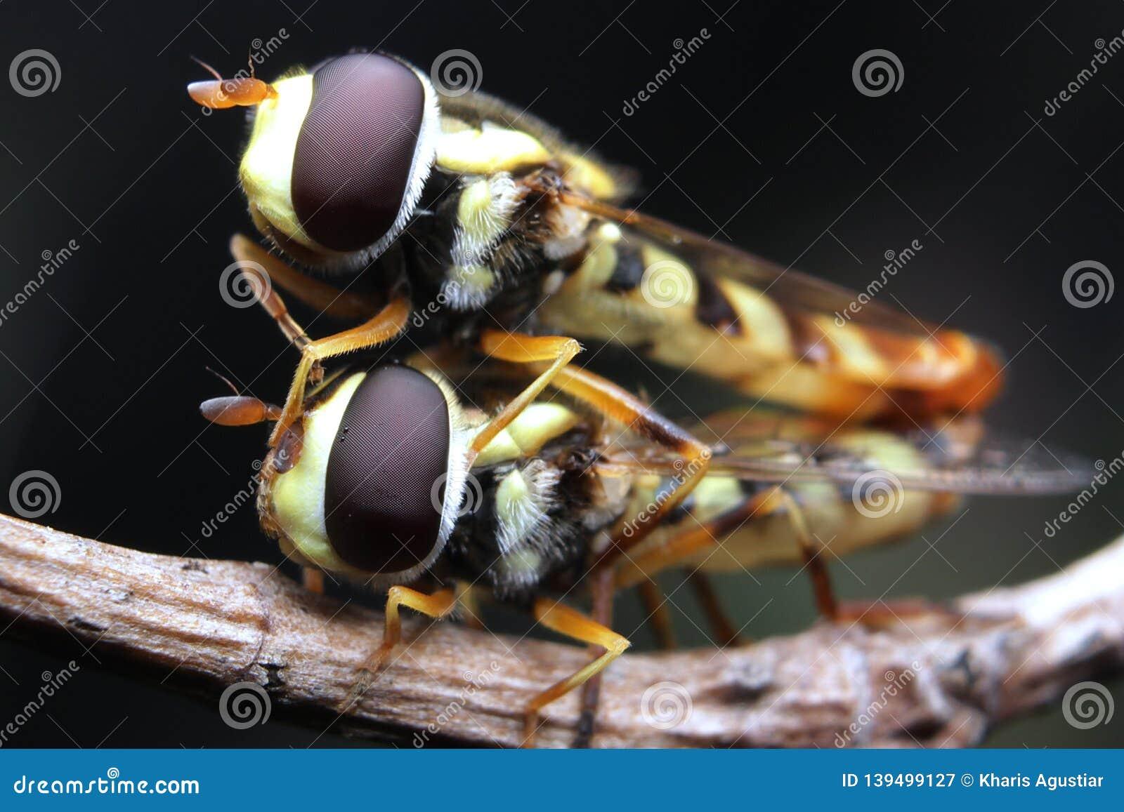 Kompiskrypet flyger hoverfly tätt upp makro