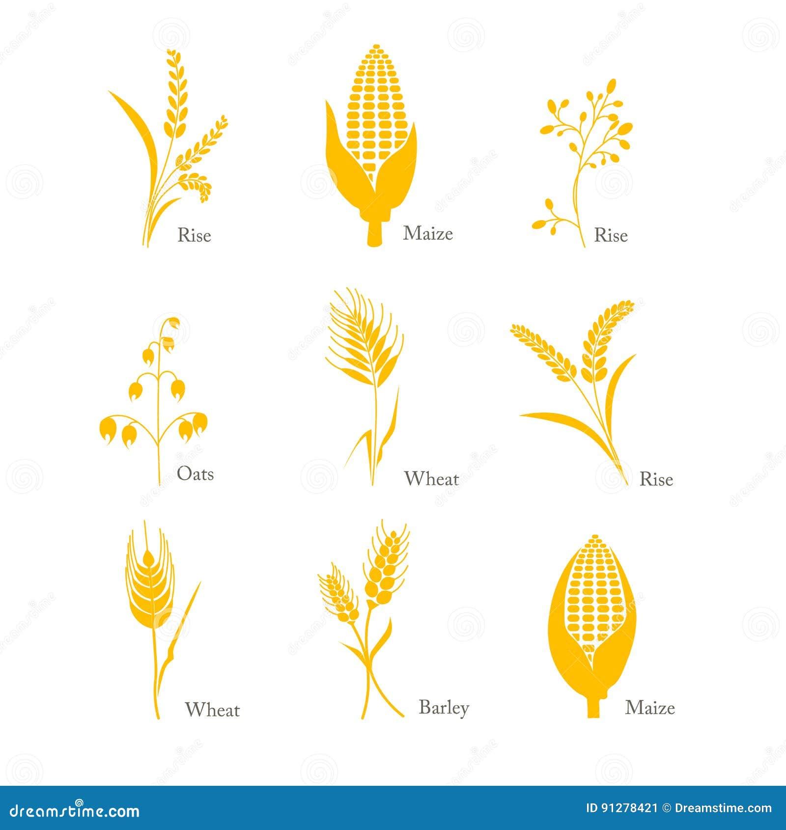 Komplex för majs för ris för vete för havre för korn för sädesslagsymbolsskörd