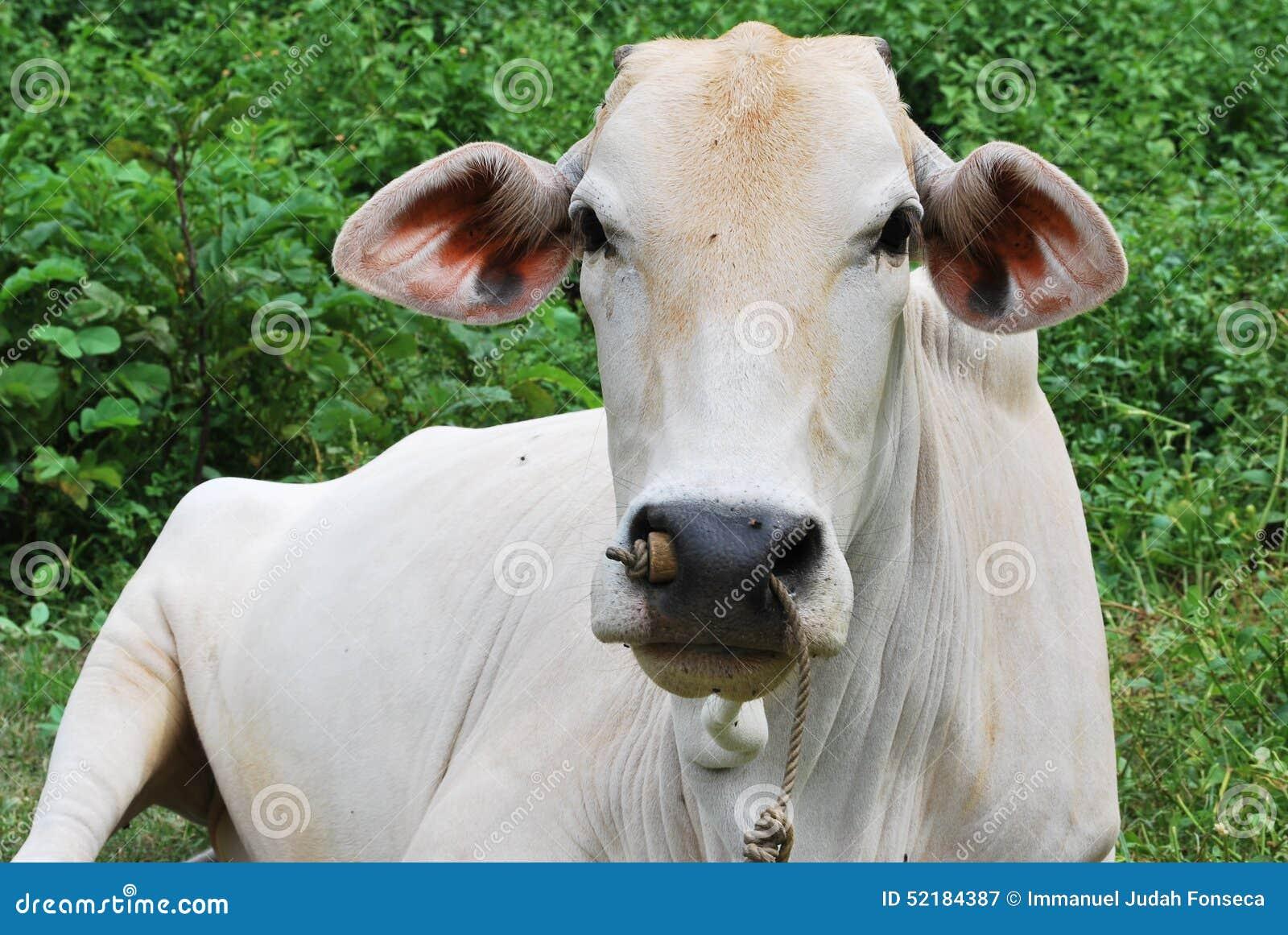 Kon är liggande
