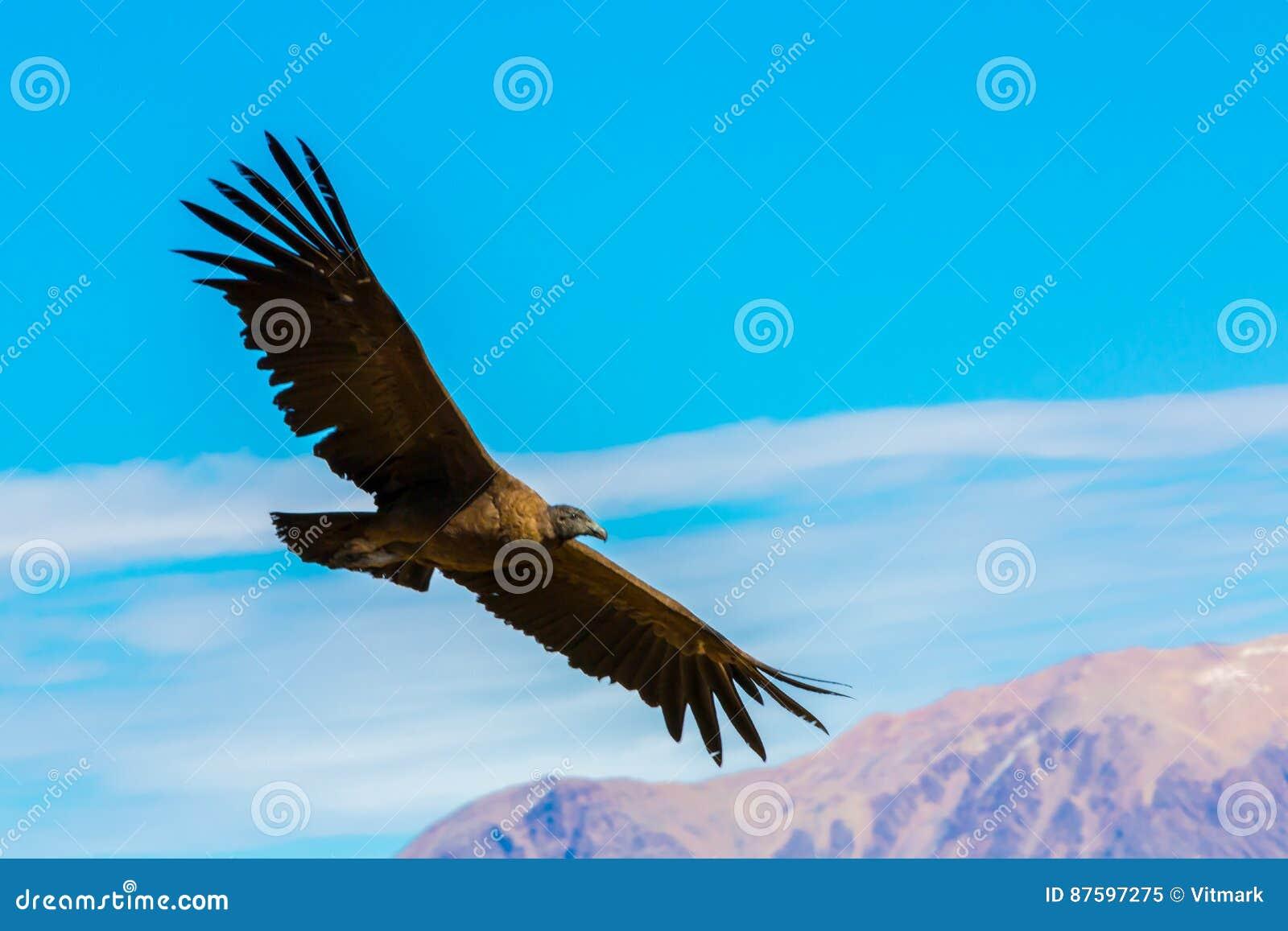 Kondor Am Colca Schluchtsitzen Peru Südamerika Dieses Ist Ein