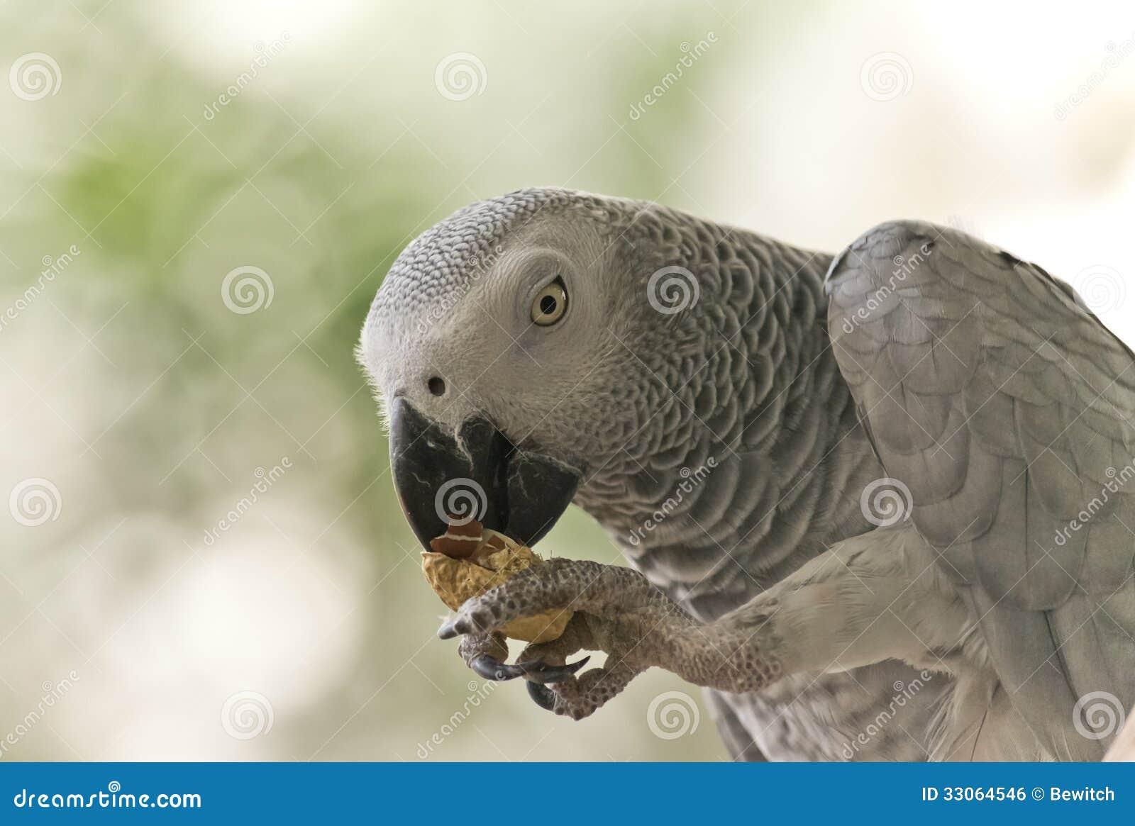 Kongoflodenafrikan Grey Parrot