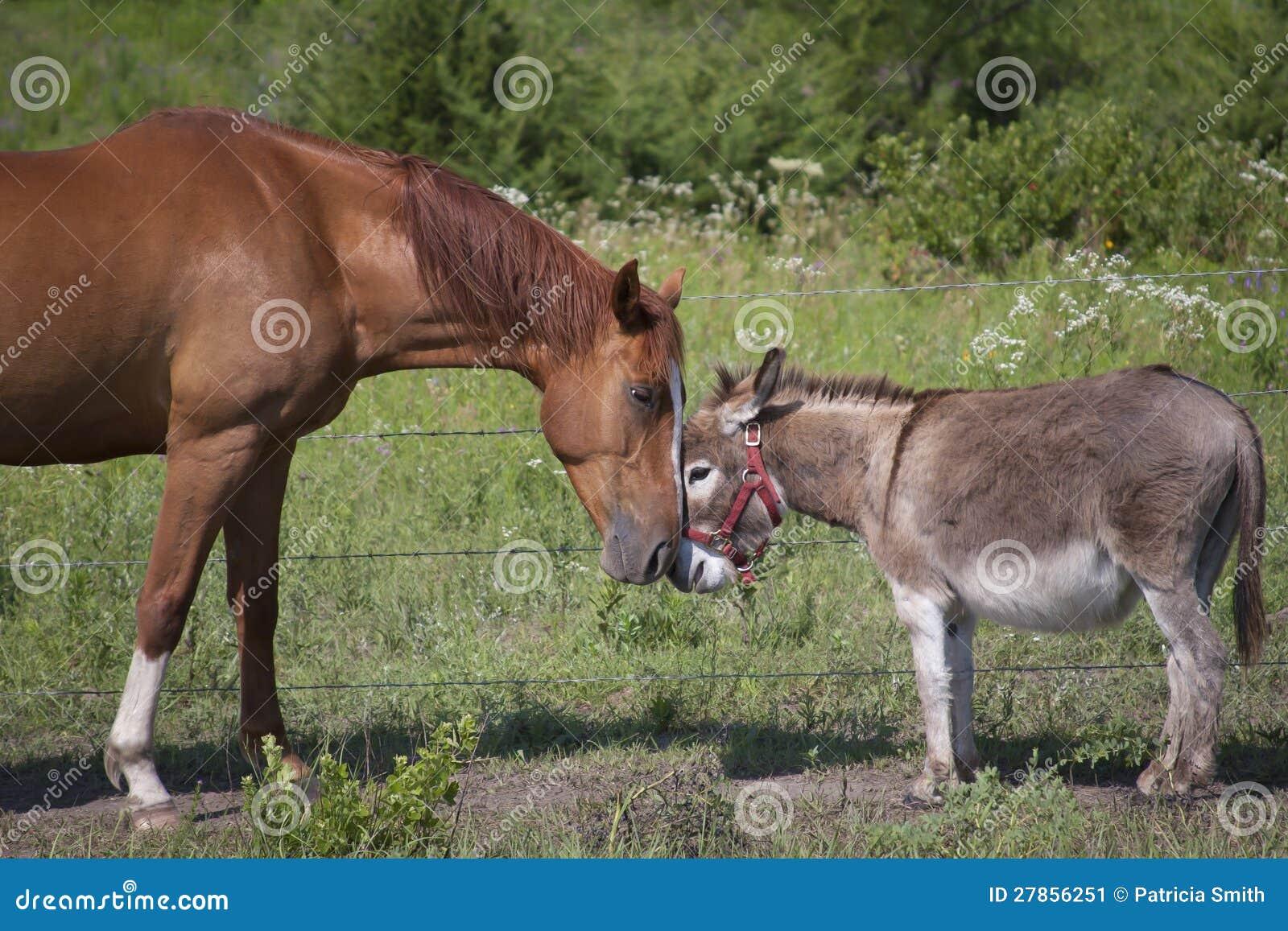 Konia i osła dotyk
