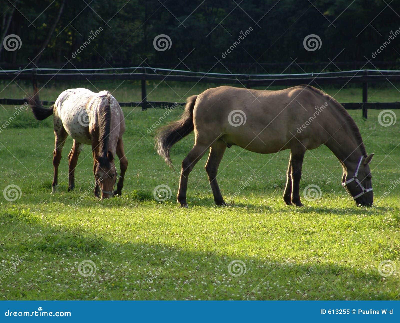 Konie łąkowi