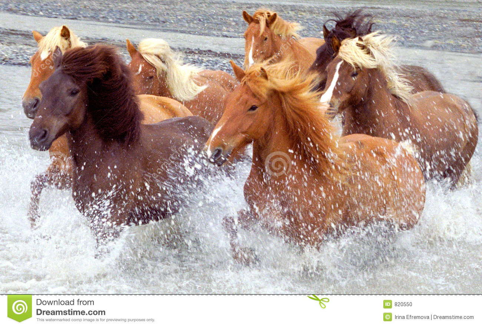 Konie Islandii