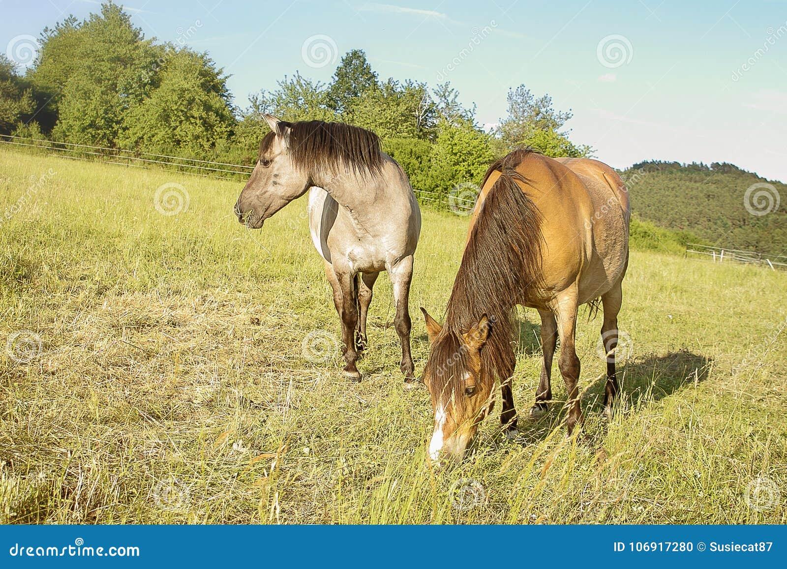 Konie na paśniku