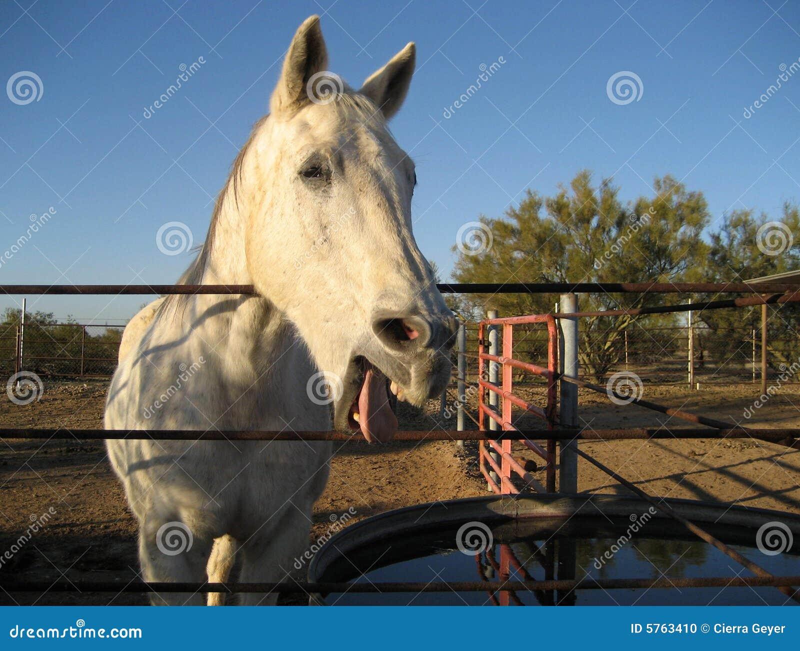 Konie się śmiać