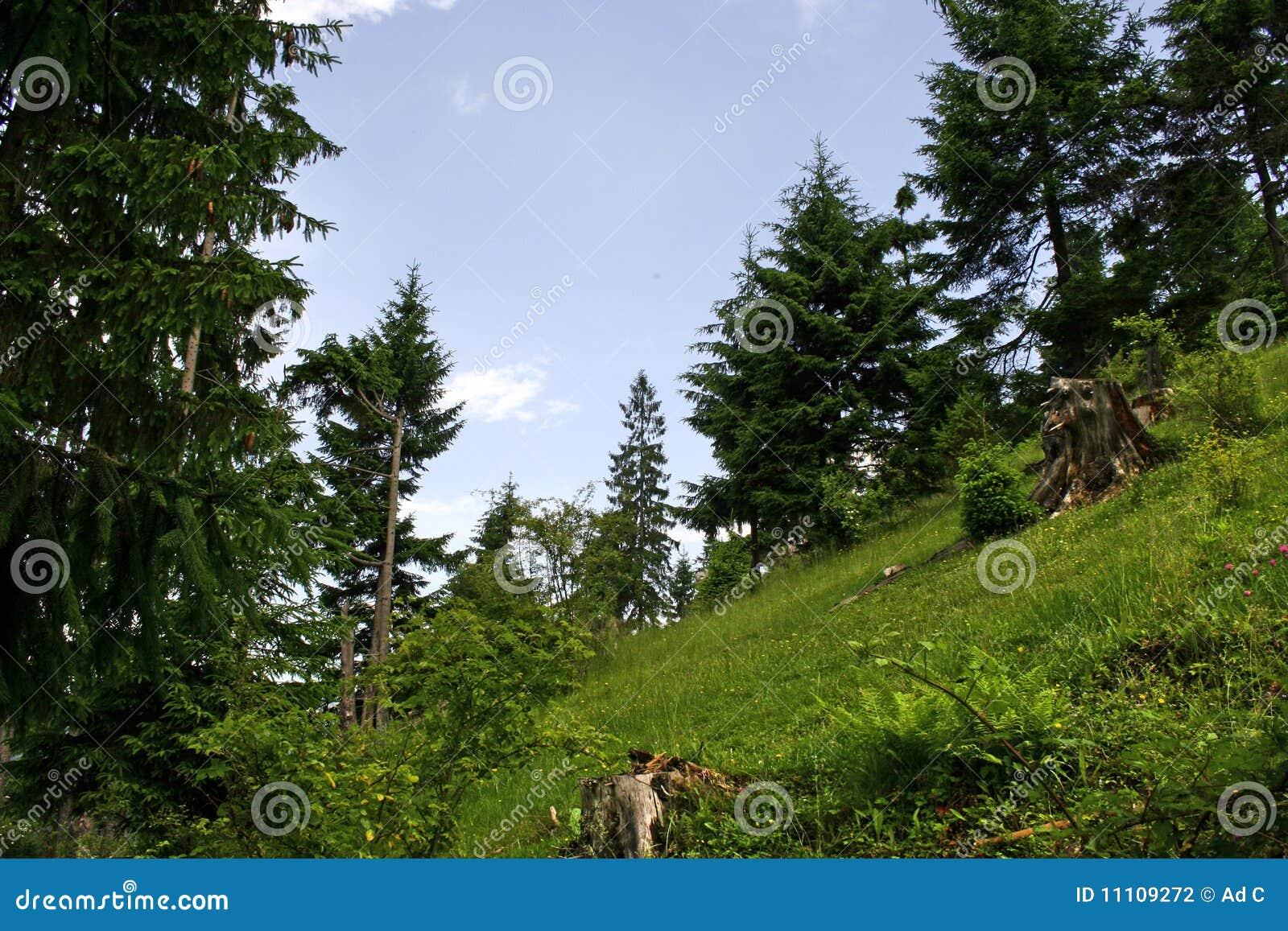Koniferenwald auf dem Berg