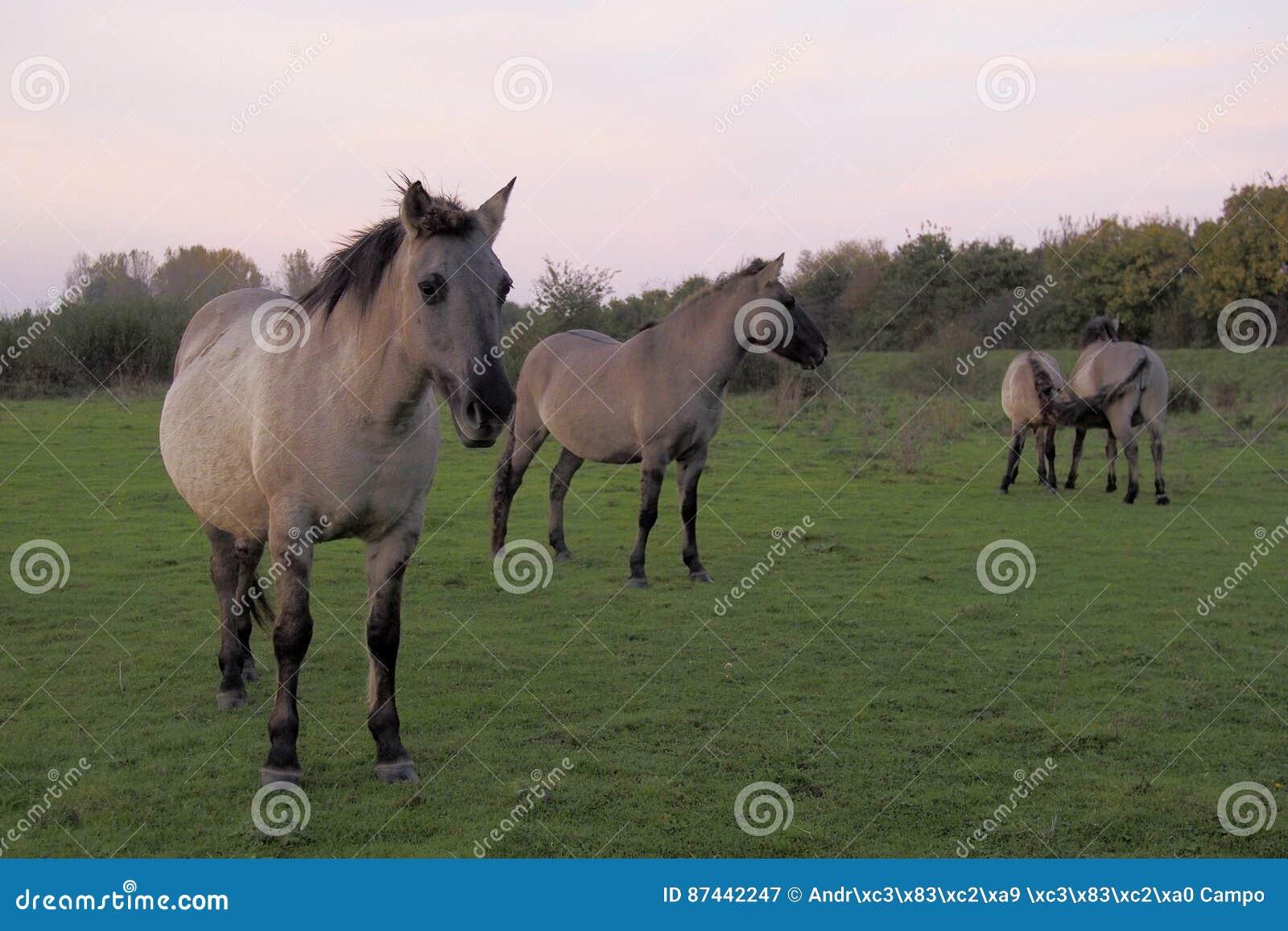 Konik hästar i det löst
