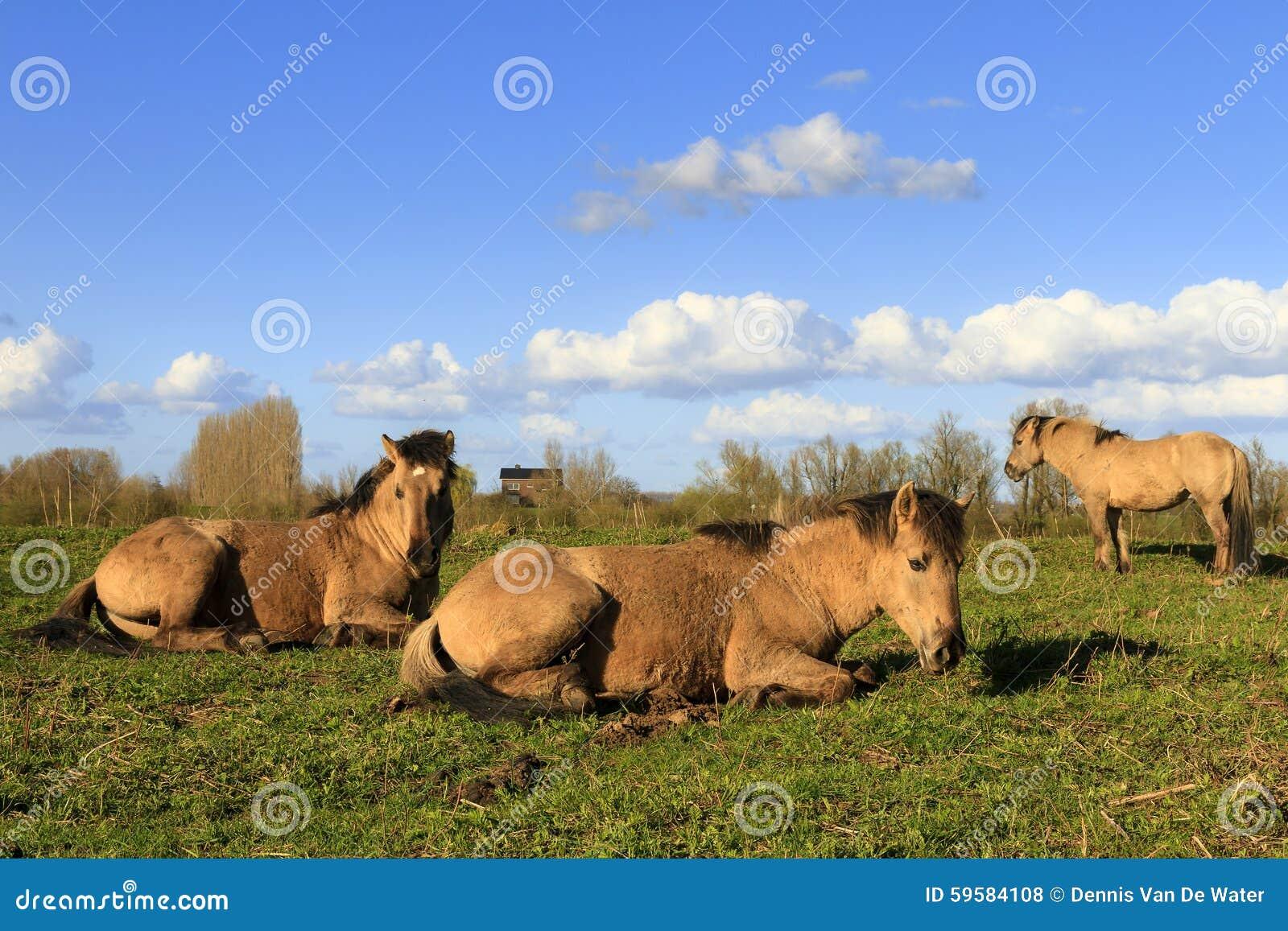 Konik horses Wageningen