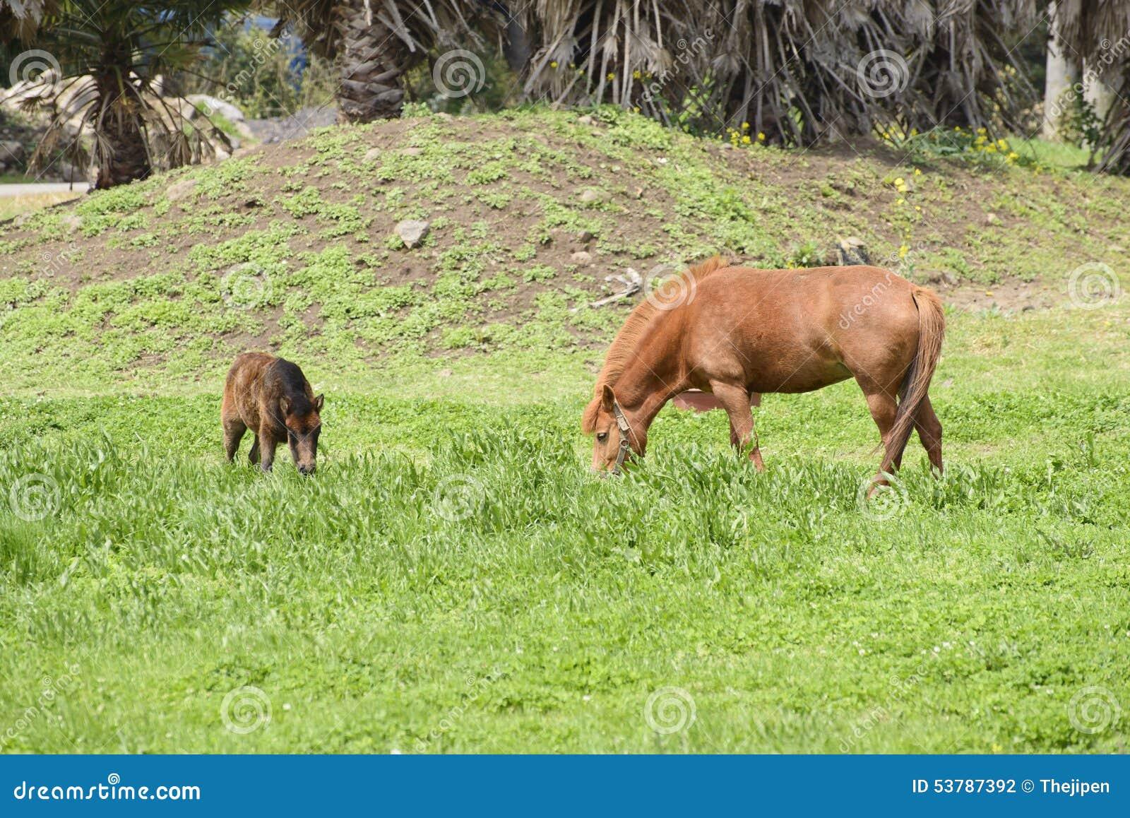 Koniki w polu