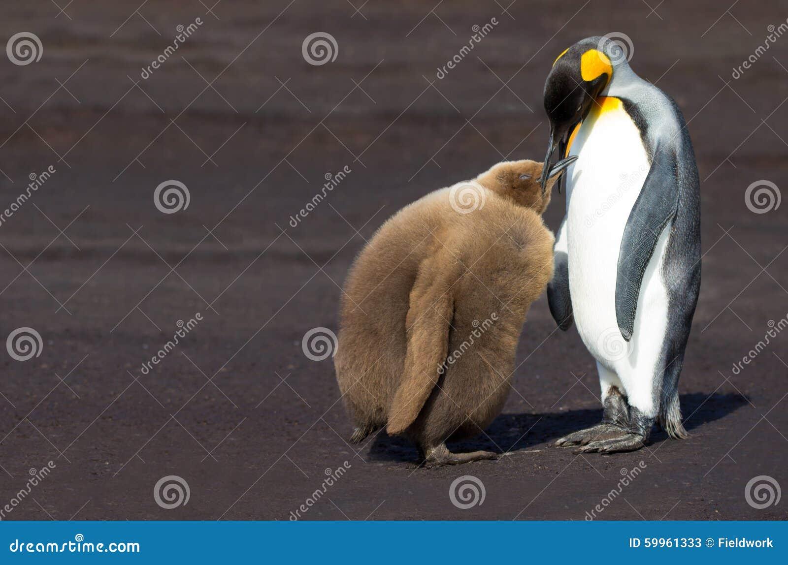 Koning Penguin die (Aptenodytes-patagonicus) het is kuiken de voeden
