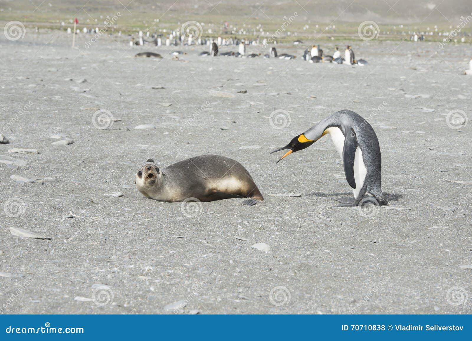 Koning Penguin-Fur Seal