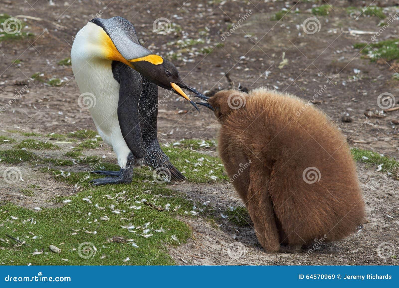 Koning Penguin met Hongerig Kuiken - Falkland Islands