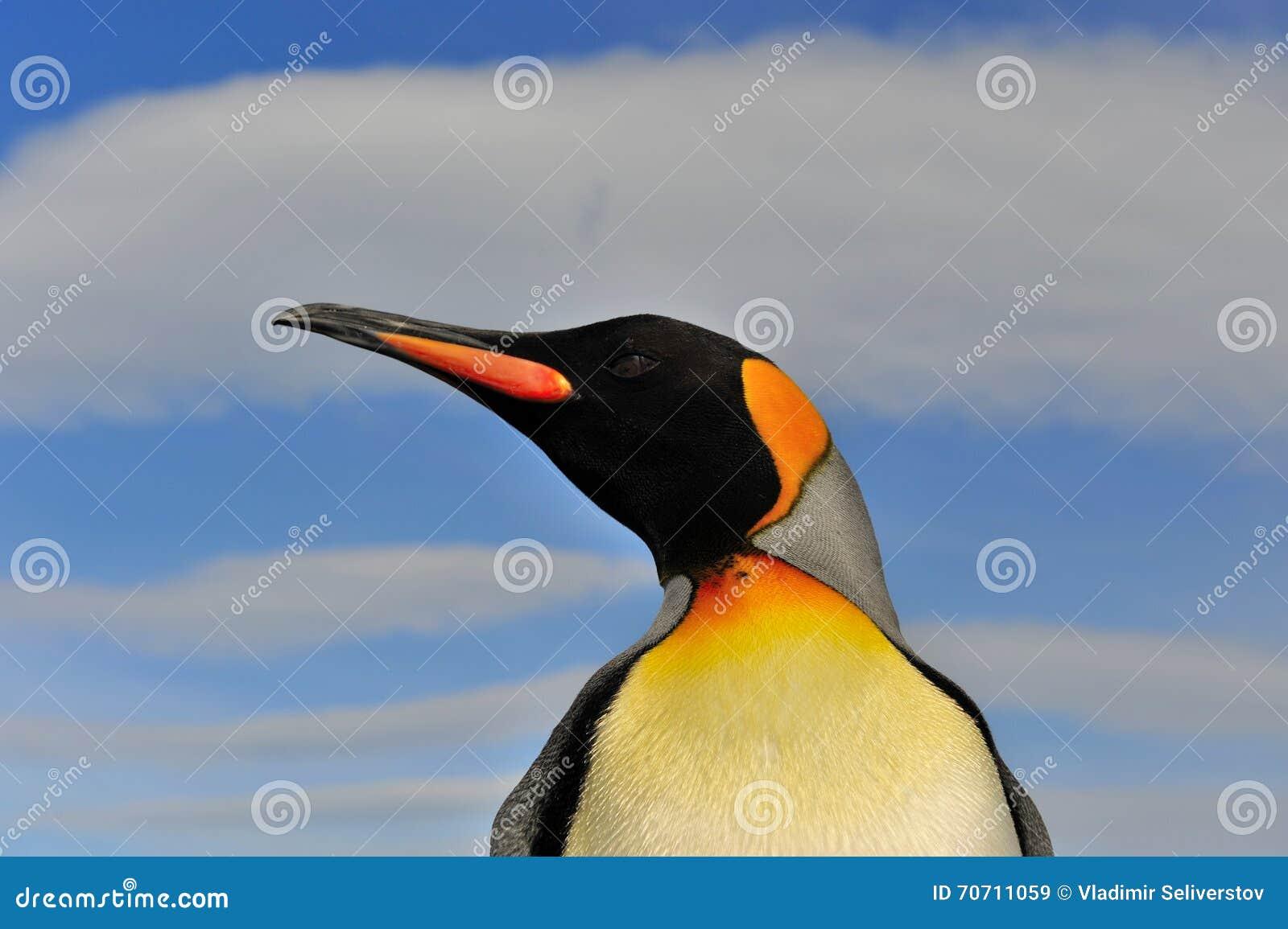 Koning Penguin in Zuid-Georgië