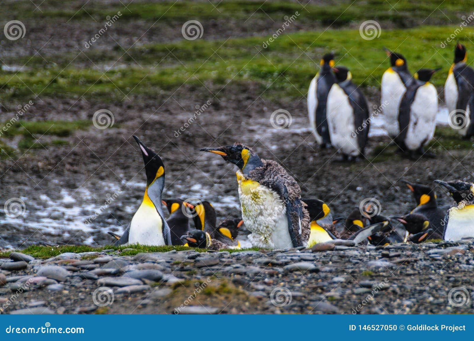 Koning Penguins op de vlaktes van Salisbury