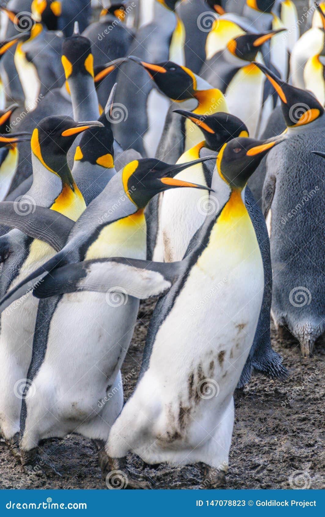 Koning Penguins op Gouden Haven