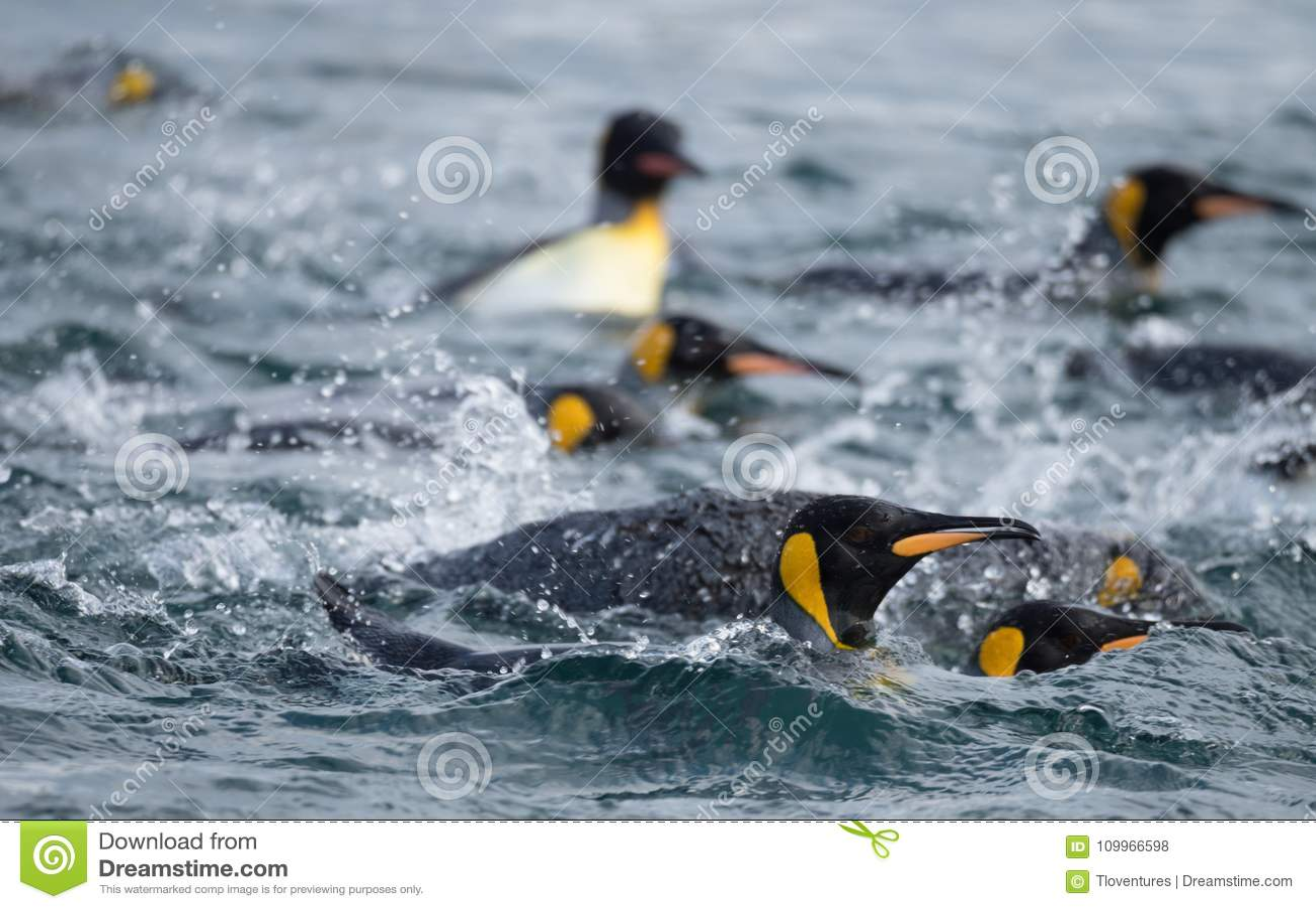 Koning Penguins Swimming in de Zuidelijke Oceaan