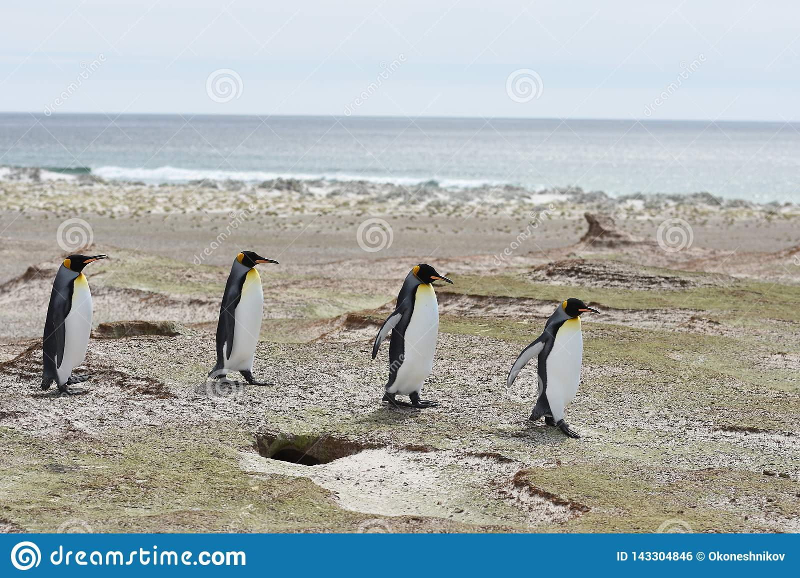 Koning Penguins in Vrijwilligerspunt, Falkland Islands
